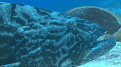 Grouper huge fish coral reef Stock Footage