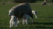 Sheep Rejecting Some Lambs Stock Footage