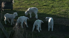 Several Lambs - stock footage