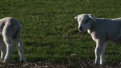 Two Lambs - stock footage