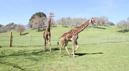 Stock Video Footage of Giraffes