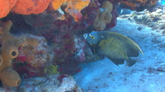 French angelfish swimming around coral reef Stock Footage