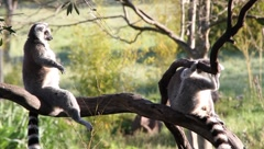 Lemurs in trees Stock Footage