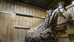 Giraffes in Barn Stock Footage