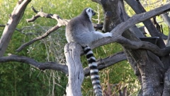 Lemurs Stock Footage