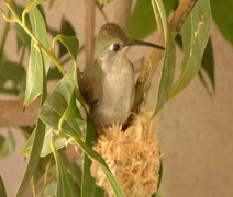 Hummingbird builds nest Stock Footage