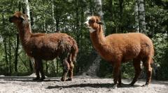 2 Lamas 8408N Stock Footage