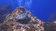 Stock Video Footage of turtle and tropical fish 1