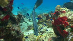 Scrawled filefish swimming over a coral reef Stock Footage