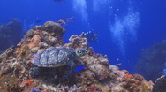 Stock Video Footage of turtle and tropical fish 2