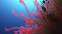 Close up of red anemone moving to blue water Stock Footage