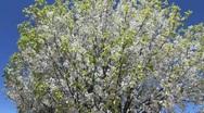 Tree Spring Bloom Stock Footage
