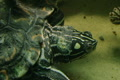 Turtle Eating Footage