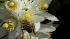 bees bee orange orchard blossom - stock footage