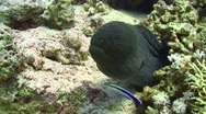 Stock Video Footage of 2010-11-18 Giant Moray Eel