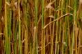 Golden Wheat Field 03 Footage