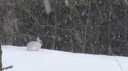 Stock Video Footage of Snowshoe Hare 3