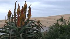 Aloë vera plant at Alexandria sand dunes Stock Footage