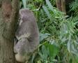Koala Bear Waking Up SD Footage