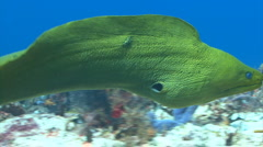Green moray eel huge Stock Footage
