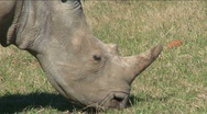 Stock Video Footage of Black rhino eating grass close-up