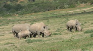 Stock Video Footage of Black rhinos with baby rhino
