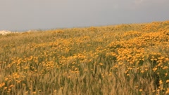 Field of yellow flowers against a blue sky(HD)c Stock Footage