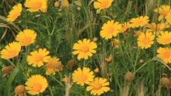 Yellow Flowers(HD)c Stock Footage