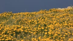 Feild of yellow flowers(HD)c Stock Footage