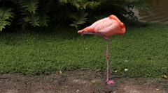 Sleeping flamingo. Two shots. Stock Footage