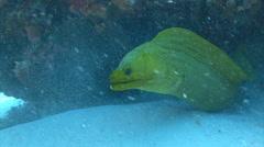 Green moray eel huge Stock Footage