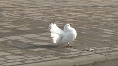 White Dove Stock Footage