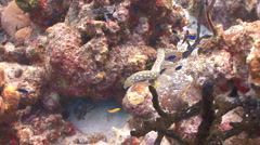 Sharptailed eel slithering around coral reef Stock Footage