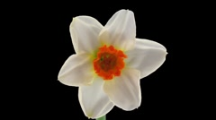 "Stereoscopic 3D time-lapse of opening narcissus ""Barret Browning"" 1 left eye Stock Footage"