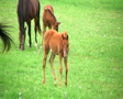 Foal Walking In Pasture SD Footage