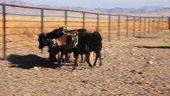 Calves Run Down the Chute (HD) co Stock Footage