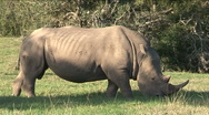 Stock Video Footage of Black rhino eating grass
