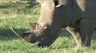 Stock Video Footage of Black rhino eating grass, close-up