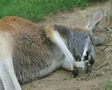 Kangaroo Sleeping And Rolling Footage