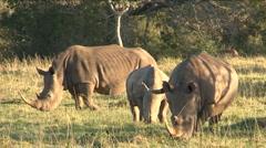 Black rhinos eating grass - stock footage