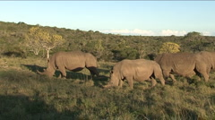 Black rhinos eating grass - stock footage