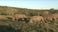 Stock Video Footage of Black rhinos eating grass