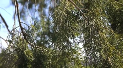 Branches in the Wind Stock Footage