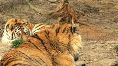 simerian tiger is relaxing and resting,close-up - stock footage