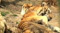 simerian tiger is relaxing and resting,close-up Footage