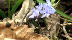 Spring with violets flower Stock Footage