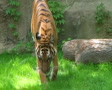 Tiger Walking In Grass 03 SD Footage
