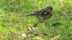 sparrow on a grass - stock footage