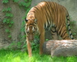 Tiger Walking In Grass Footage