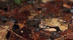 Stock Video Footage of Perez's Snouted Frog (Edalorhina perezi)